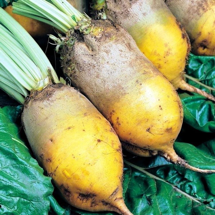 Турнепс – особенности выращивания, когда собирать урожай, интересные факты о растении