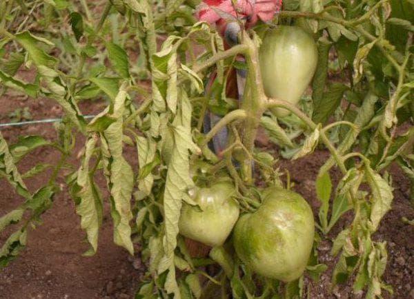 Что такое фитофтороз томатов и как с ним бороться?