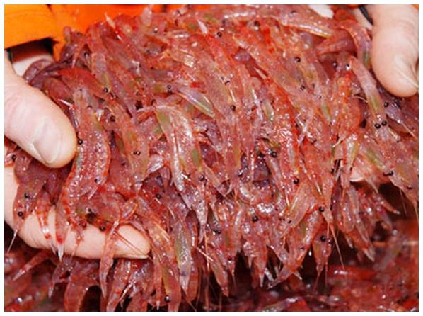 Морской криль: как выглядит морепродукт, полезные свойства мяса и варианты его приготовления