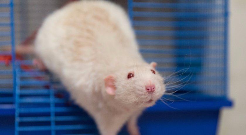 Как выглядит обычная крыса