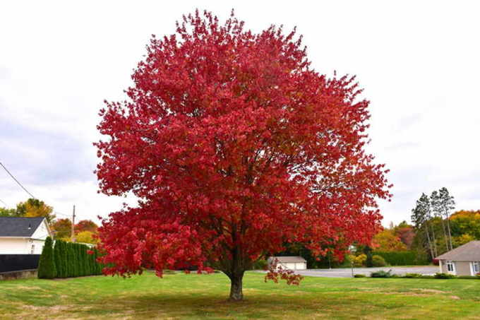 Клён — описание дерева, его видов и распространение
