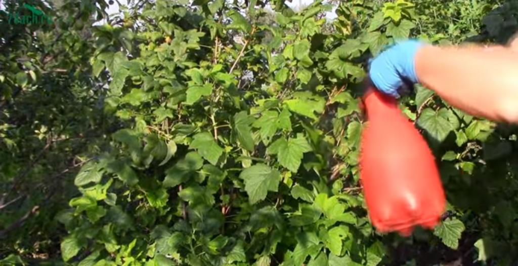 Выращивание малинового дерева