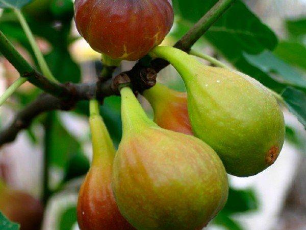 Фиговое дерево инжир: где растет и чем полезно + 8 фото