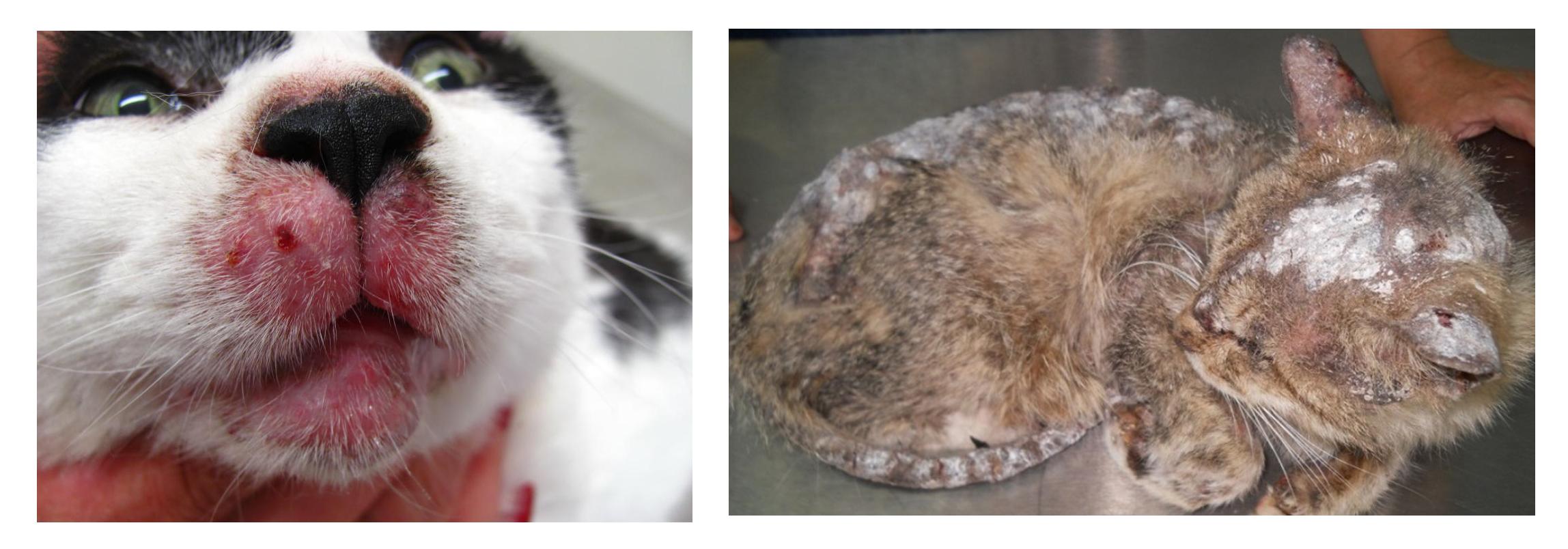 Короста: симптоми у людей і тварин, фото, діагностика, лікування та профілактика
