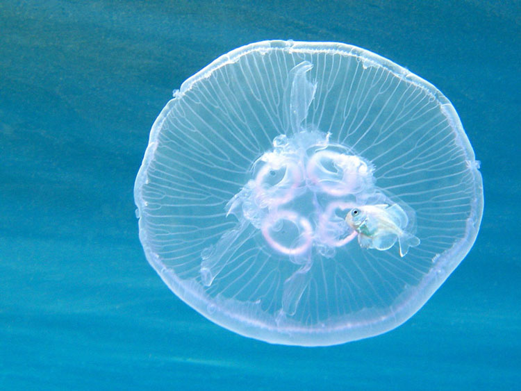 Медуза – уникальный представитель морской фауны (фото и видео)