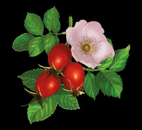 Шиповник — применение, лечебные свойства шиповника — своими руками дом и сад