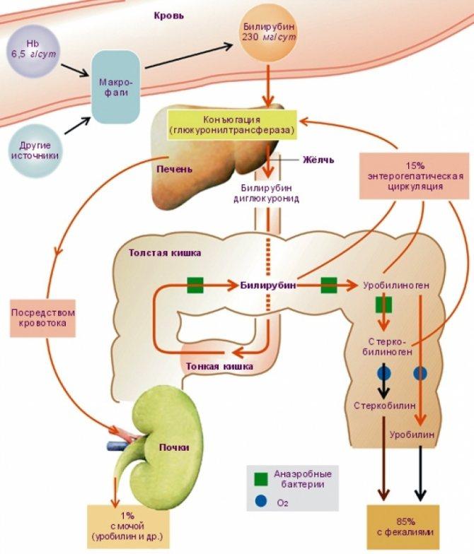 Гипербилирубинемия: какой код по мбк, доброкачественная и злокачественная, причины у новорожденных, синдром у взрослых
