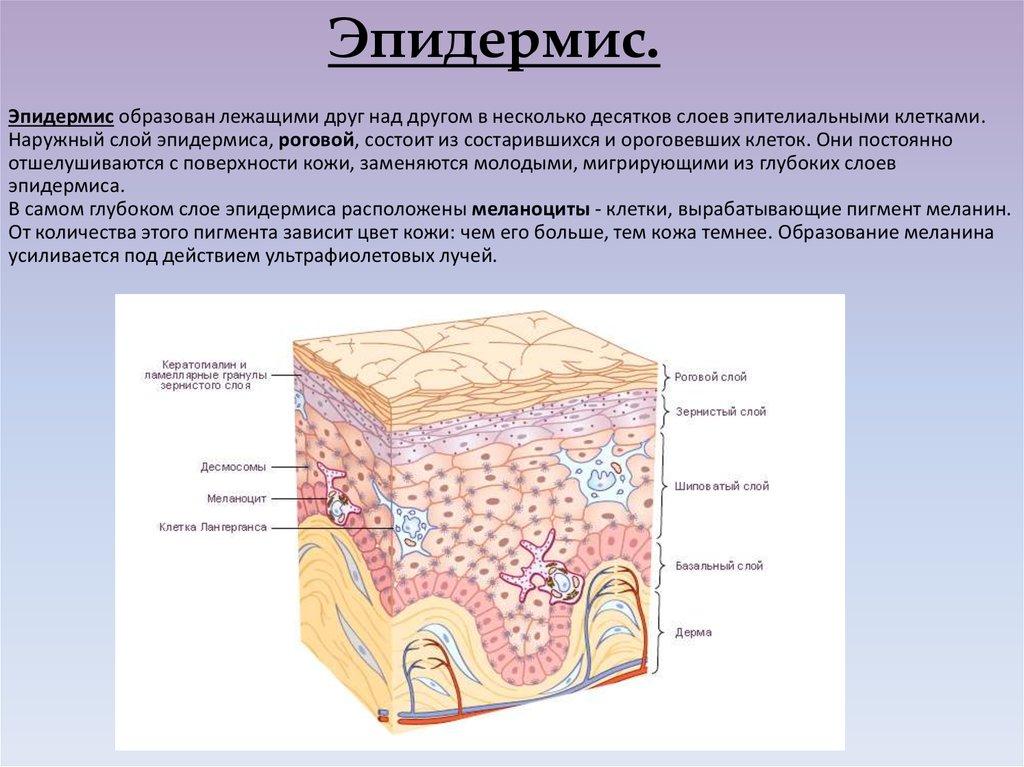 Эпидермис — википедия с видео // wiki 2