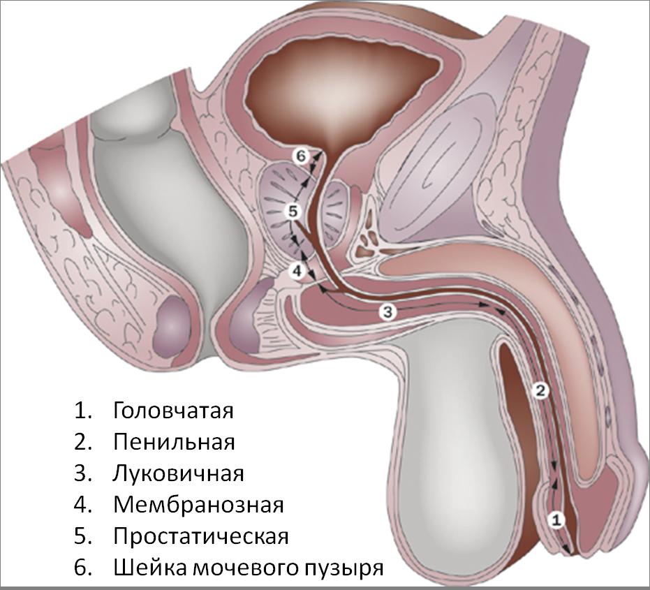 Уретра – определение, функция и структура | fissi