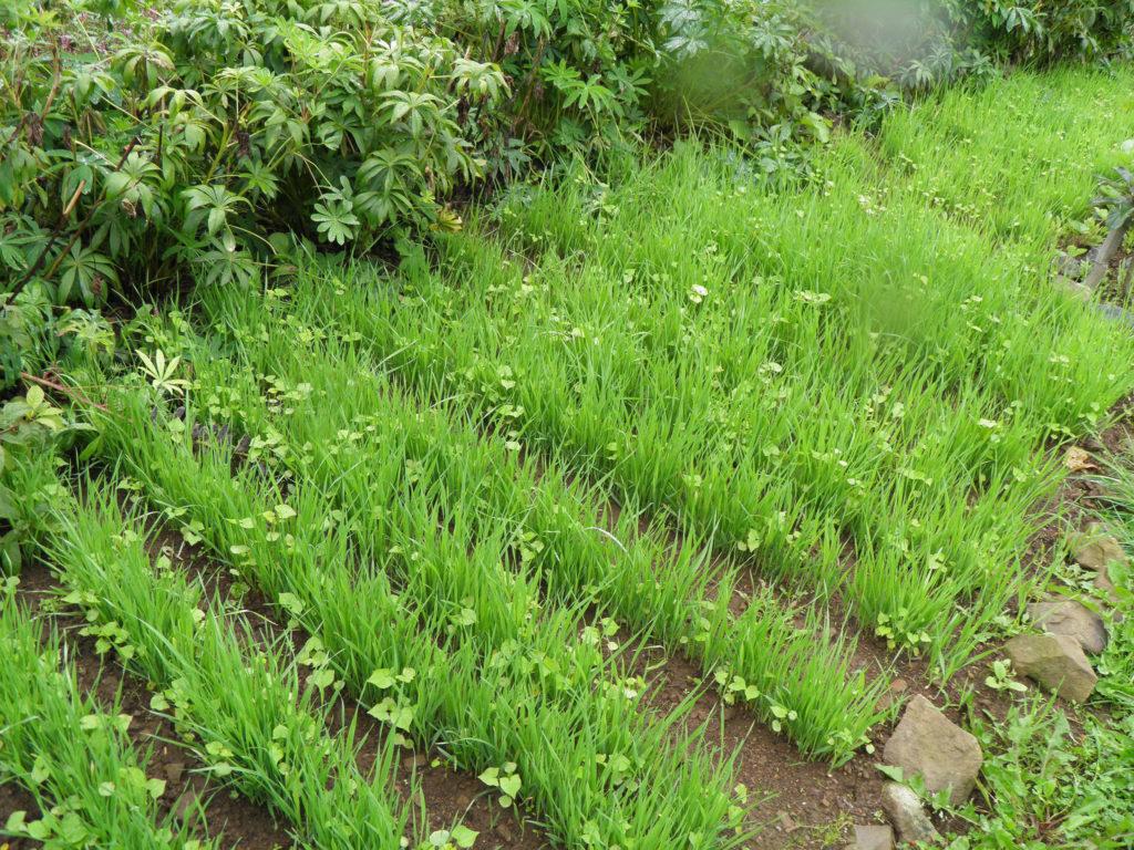 Сидераты: какие лучше сеять в огороде и как воздействуют на почву, что содержат
