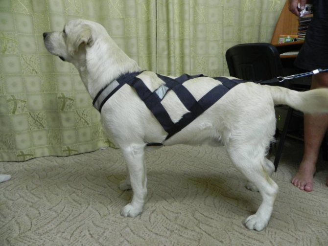 Шлейка для собак и щенков — правила выбора и когда лучше пользоваться