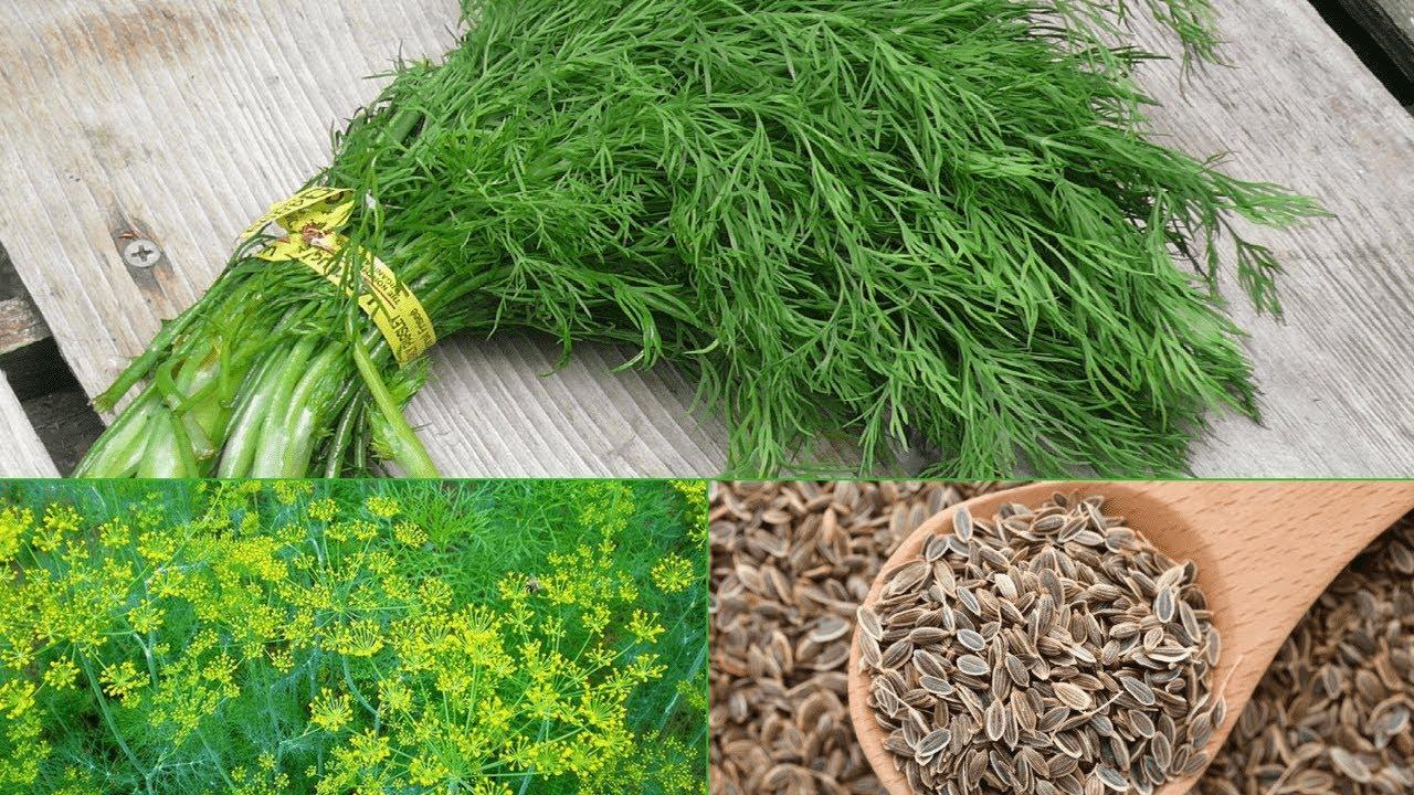 Укроп: польза и противопоказания растения