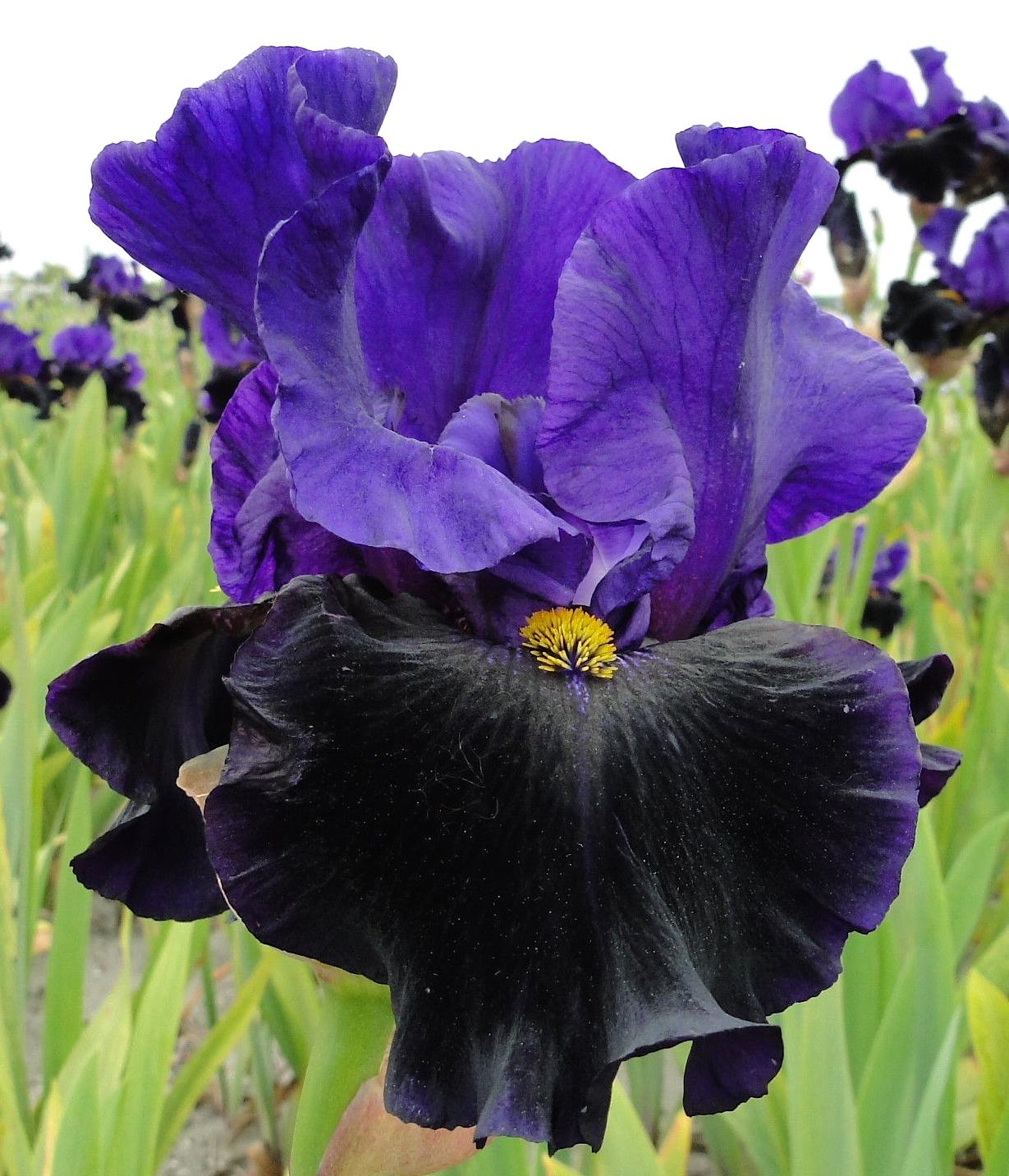 Ирис (растение)