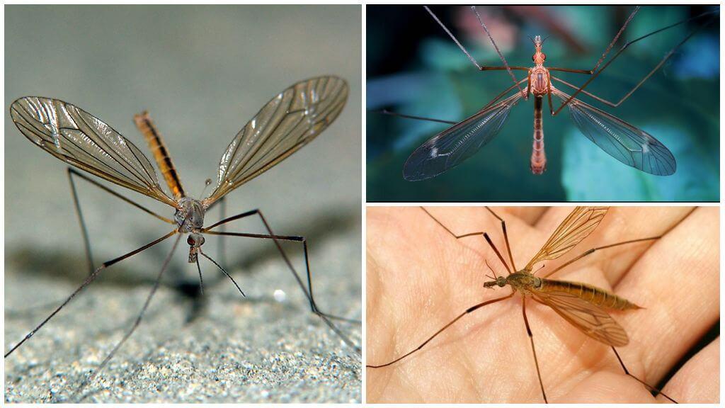 Комары — википедия. что такое комары
