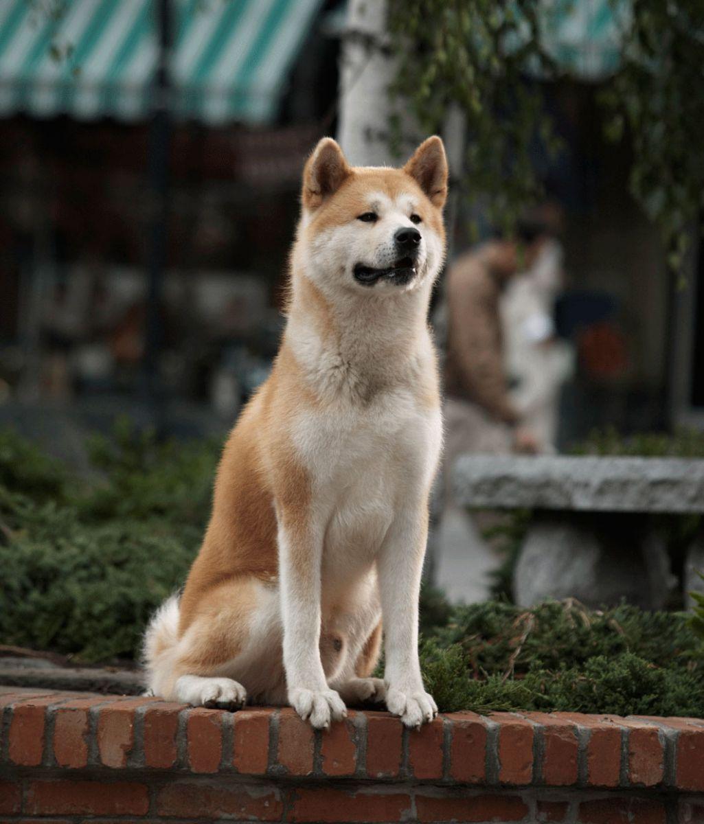 Хатико - порода собаки из фильма про преданность