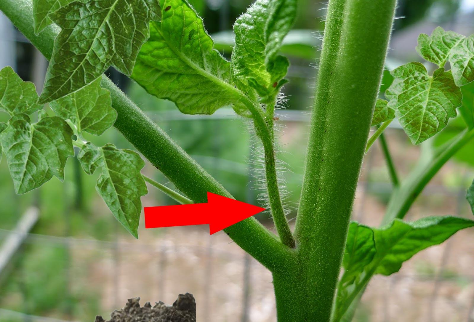 Пасынкование помидор в открытом грунте: что это такое, схема и видео как правильно пасынковать томаты