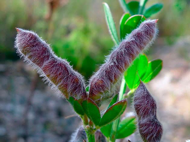 Люпин многолетний (64 фото): посадка и уход, выращивание цветов из семян, описание сортов, способы размножения