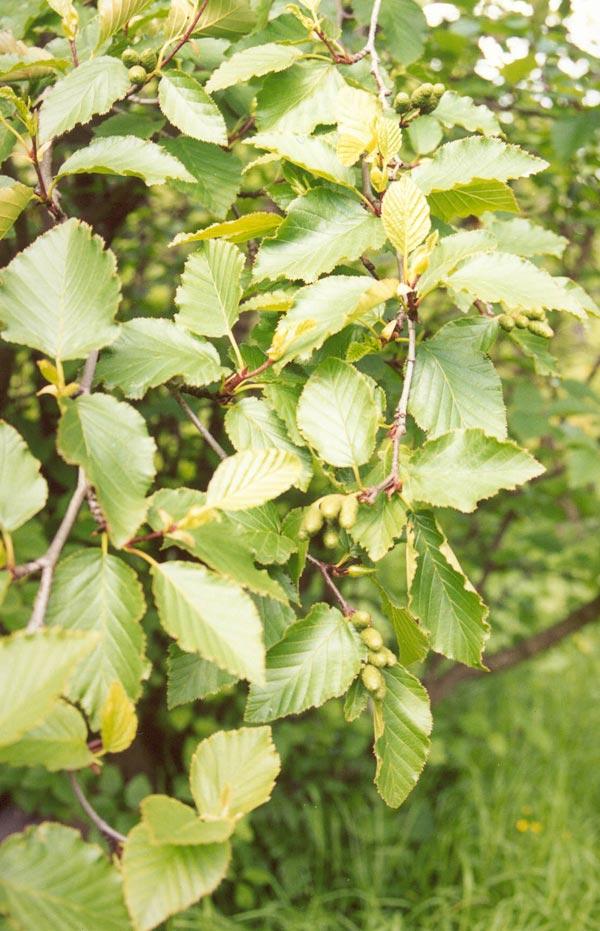 Как выглядит дерево ольха? фото и описание :: syl.ru
