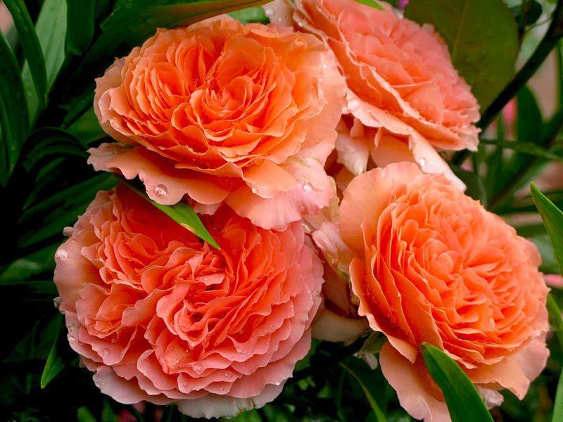 Роза шраб: выращивание и уход в открытом грунте. | растюнька
