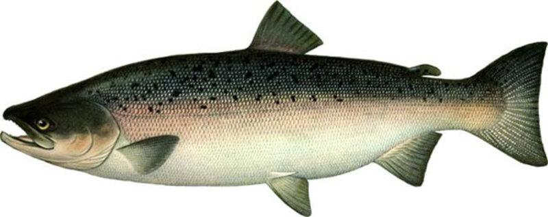 Кета: рыба, фото