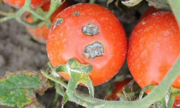 Как избавиться от фитофторы на помидорах? | на грядке (огород.ru)