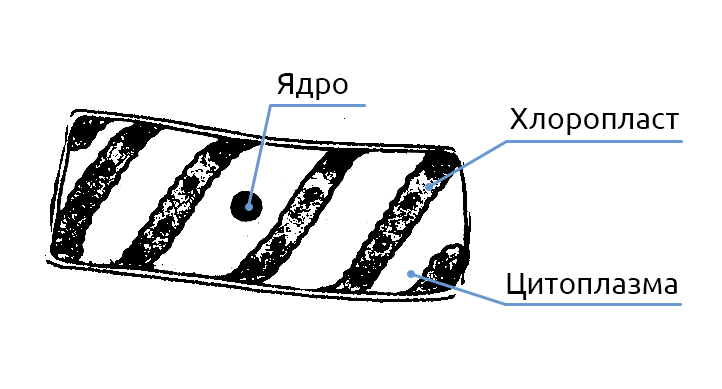 Спирогира -spirogyra