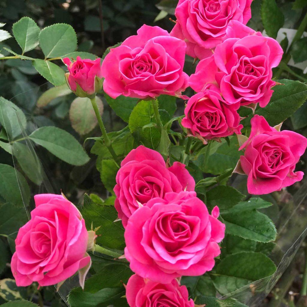 Роза спрей ????: характеристики, описание сортов, фото ???? все о посадке и выращивании