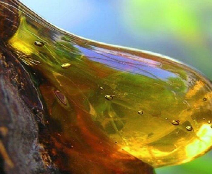 Мед с живицей: полезные свойства, противопоказания, рецепты