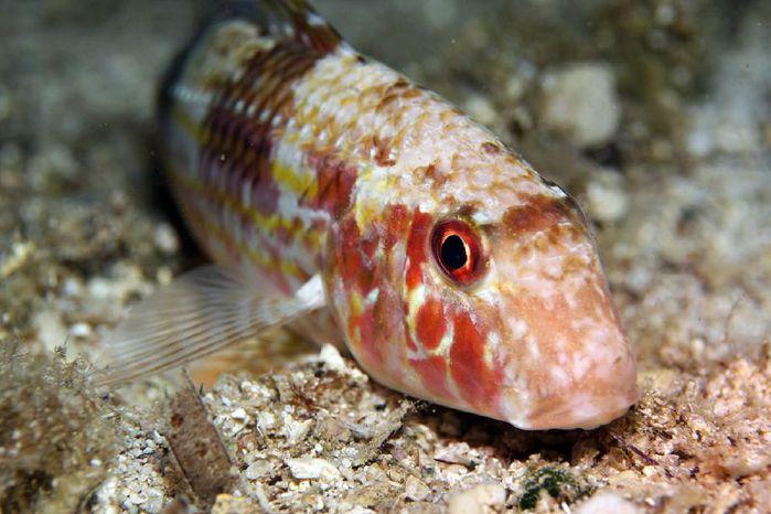 Рыба барабулька: где водится и как выглядит, особенности ловли и приготовления