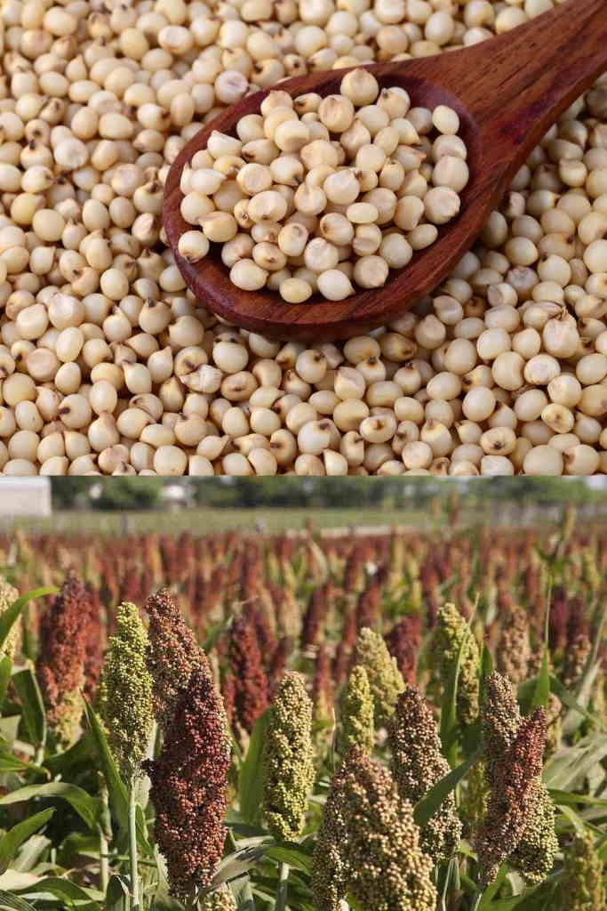 Что такое сорго - описание растения и сорта, места произрастания, польза и вред, сферы использования