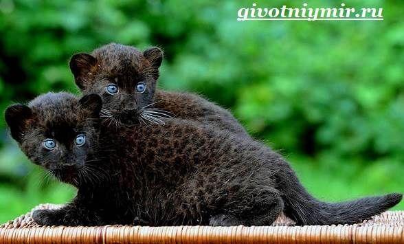 Рождение и смерть «чёрных пантер» —статьи