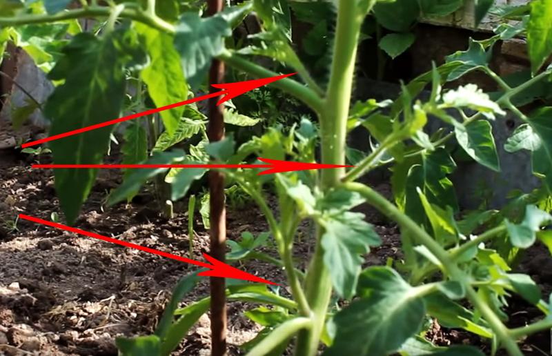 Как правильно оборвать пасынки у помидоров: схема для начинающих огородников