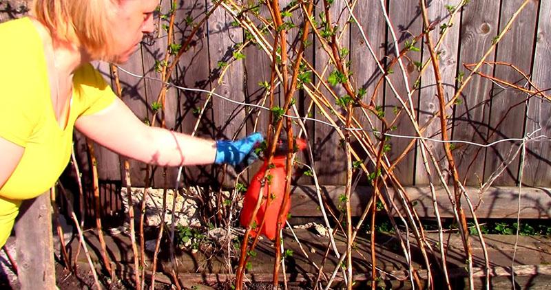 Малиновое дерево: посадка и уход, выращивание, обрезка на зиму. дерево малина: как посадить и ухаживать
