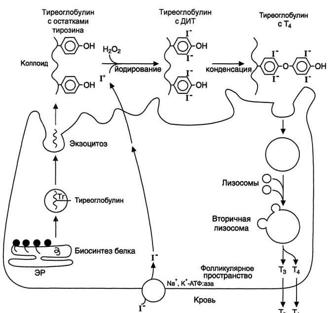 Тиреоглобулин (thyroglobulin (tg), тг,сложный белок (гликопротеид), синтезируемый и накапливающийся в фолликулах щитовидной железы; непосредственный предшественник тиреоидных гормонов (тиронинов)) - с