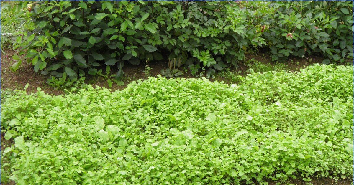 Сидераты: секреты использования зеленых удобрений | дела огородные (огород.ru)