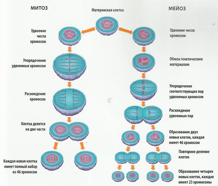 Амитоз – чем отличается от митоза, биологическое значение и фазы