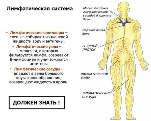 Лимфоузлы в теле человека: где находятся и какую функцию выполняют