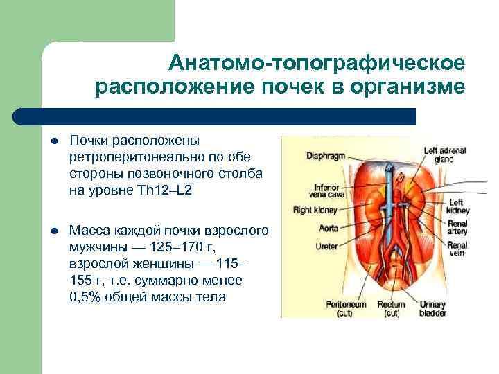Почки: симптомы, причины, лечение