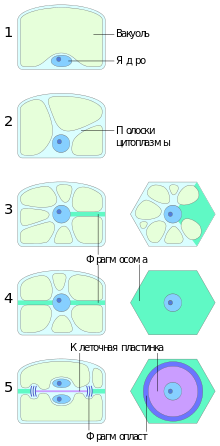 Клеточный цикл. интерфаза. амитоз. митоз и мейоз • биология-в.рф