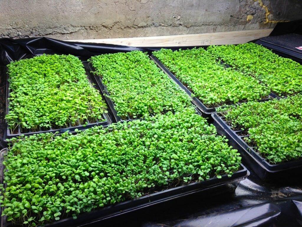 Вся правда о выращивании микрозелени