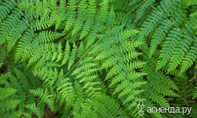 Орляк обыкновенный - pteridium aquilinum (l.) kuhn