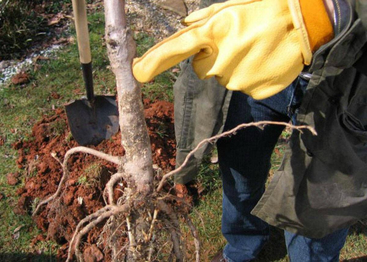 Прививкой в какую сторону сажать яблоню. саженцы первого или второго года жизни