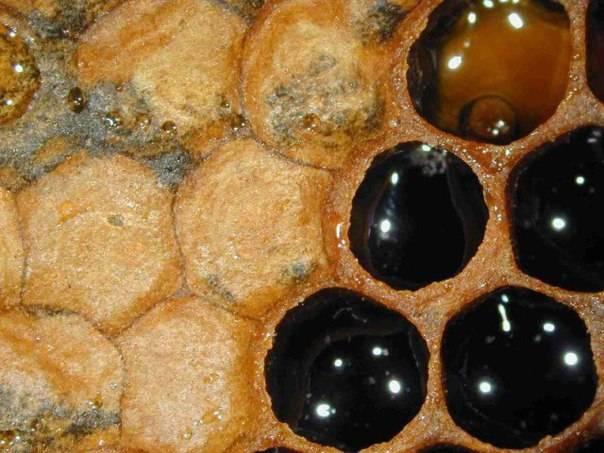 Что такое падевый мёд. как определить есть в меде падь или нет