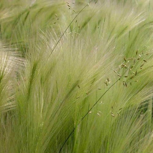 Ковыль: описание растения, уход и выращивание на участке +видео