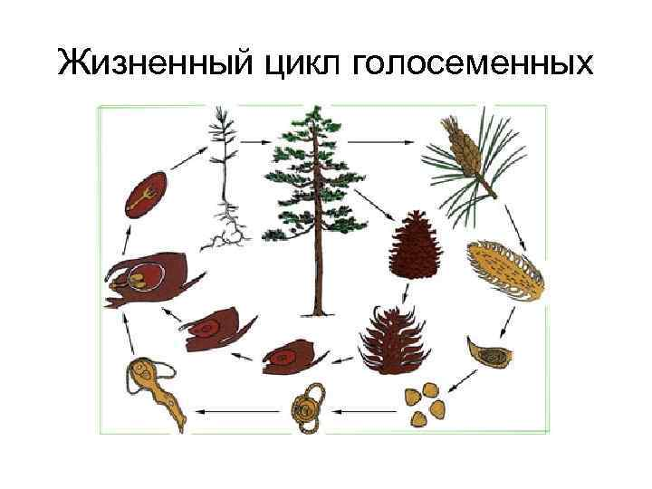 Сходство, отличия и признаки: голосеменные и покрытосеменные растения