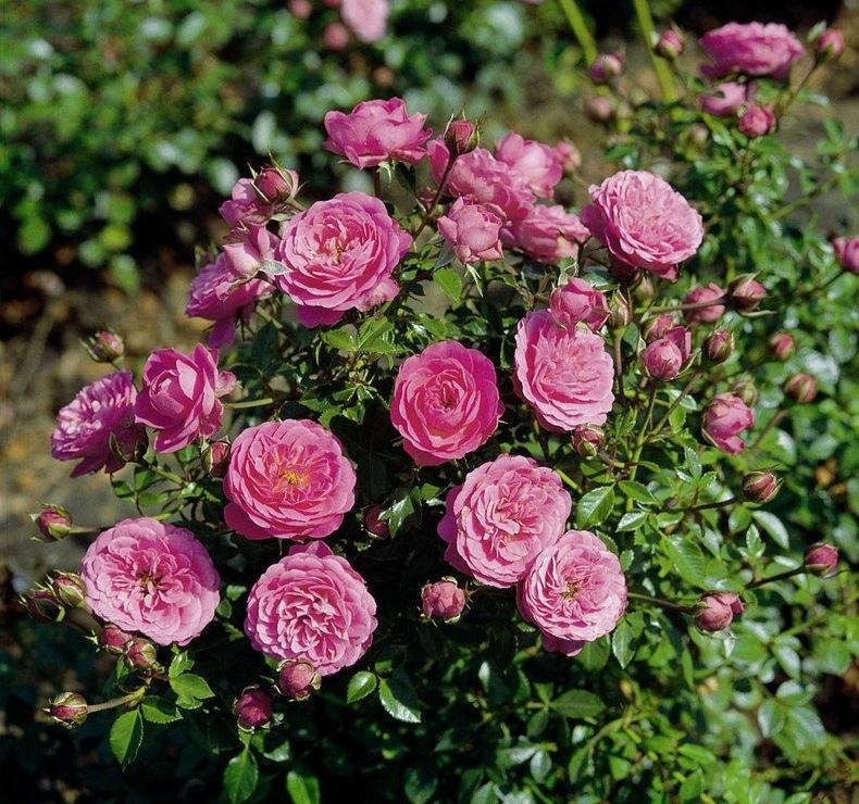 Спрей роза — что это такое? популярные сорта, посадка и уход за цветами