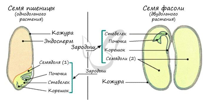 Вторичный эндосперм