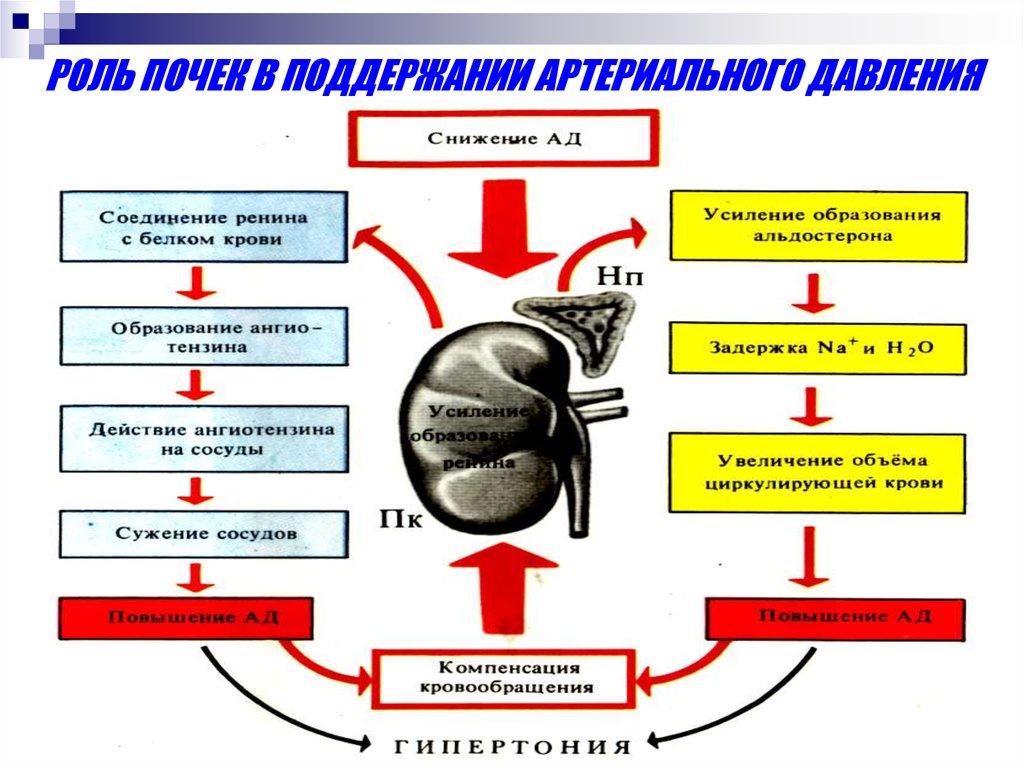 Альдостерон — википедия. что такое альдостерон