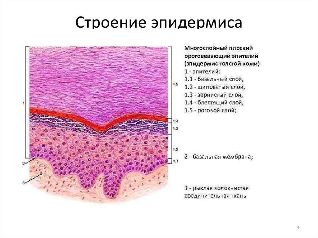 Эпидермис — медицинская википедия