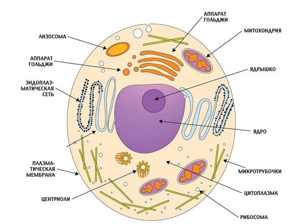 Кто такие эукариоты и прокариоты: сравнительная характеристика клеток разных царств
